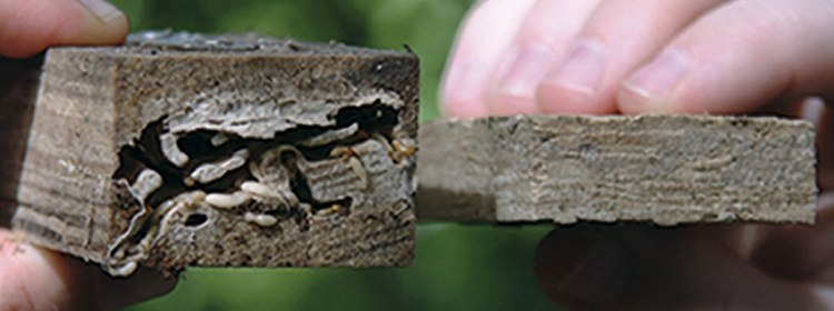 comparing two wood sidings one that prevents rot and insects
